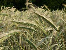 Free Triticale, Food Grain, Grass Family, Vegetation Stock Photos - 136081053