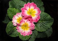 Free Flower, Primula, Flowering Plant, Plant Stock Photos - 136081243