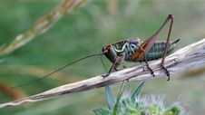Free Insect, Invertebrate, Ecosystem, Cricket Like Insect Royalty Free Stock Photos - 136081358