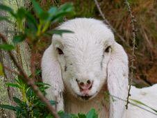 Free Goats, Goat, Cow Goat Family, Fauna Royalty Free Stock Photo - 136081675