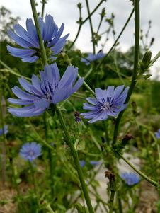 Free Plant, Flora, Chicory, Flower Stock Photography - 136081722