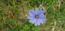 Free Blue, Flora, Chicory, Plant Royalty Free Stock Image - 136081726