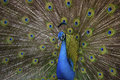 Free Peacock Showing Off Royalty Free Stock Photos - 13612608