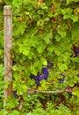 Free Grape Vine Royalty Free Stock Photo - 13612755
