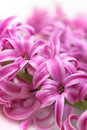 Free Pink Hyacinth (macro) Stock Images - 13618554