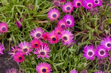 Free Pink Gazania Stock Photos - 13610043