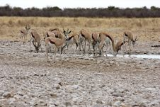 Free Group Of Black Faced Impala Royalty Free Stock Photography - 13610077
