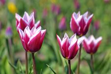 Free Violet Tulips Royalty Free Stock Images - 13610809