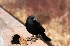 Free Red-winged Blackbird Male Royalty Free Stock Photography - 13611037
