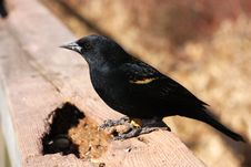 Free Red-winged Blackbird Male Stock Image - 13611041