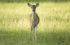 Free Fawn In Grass Stock Photo - 13611860