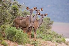 Free Kudu Trio Royalty Free Stock Photography - 13611867