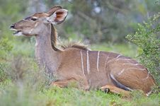 Free Resting Kudu Stock Photos - 13612053