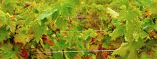 Grape Vine Stock Image