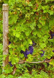 Free Grape Vine Royalty Free Stock Photo - 13612755