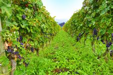 Free Green Vineyard Royalty Free Stock Image - 13612846