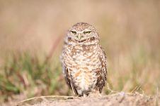 Free Burrowing Owl Stock Photo - 13612870