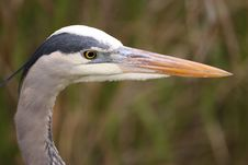 Free Great Blue Heron Royalty Free Stock Images - 13612879