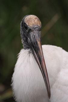 Free Wood Stork Royalty Free Stock Image - 13612886