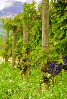 Free Vine Grape Stock Image - 13612951