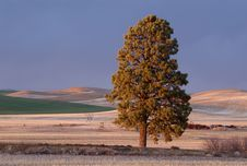 Free Palouse Pine Tree Stock Photos - 13613763