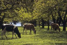 Free Three Cows Grazing In Orchard Royalty Free Stock Photos - 13614198