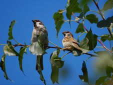 Free Two Sparrows Sitting On A Branch Stock Photography - 13614512