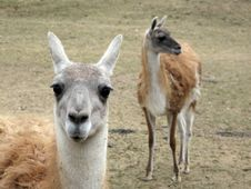 Free Thoughtful Lama Royalty Free Stock Image - 13614616