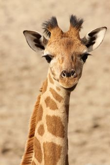Free Portrait Of A Young Giraffe Looking At You Stock Photo - 13614950