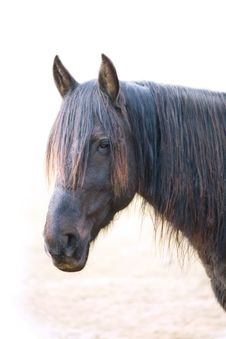 Free Head Of Dirty Horse Stock Photo - 13615190