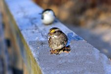 Free White-throated Sparrow Royalty Free Stock Photo - 13616705