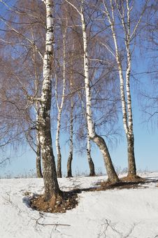 Free Bare Birch Trees In Winter Time Stock Photography - 13616992