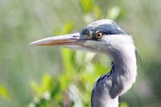 Free Heron Royalty Free Stock Photography - 13617377