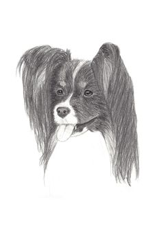 Pencil Drawing Of A Tricolor Papillon Dog Royalty Free Stock Images