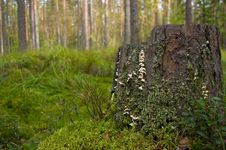 Free Stump With Moss And Lichen Royalty Free Stock Images - 13618079