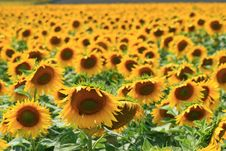 Free Field Of Sunflowers Royalty Free Stock Photography - 13618727