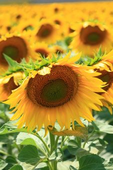 Free Field Of Sunflowers Stock Photo - 13618730