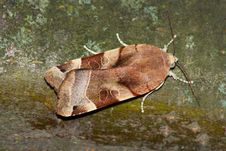 Free Night Moth (Noctua Ssp.) Royalty Free Stock Photos - 13619808