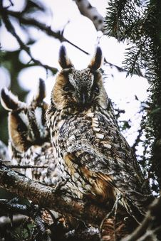 Free Two Brown Owls On Tree Branch Royalty Free Stock Photo - 136157305