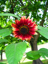 Free Colorful Sunflower Bloom Stock Photos - 13620103