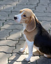 Free Beagle Puppy Stock Photos - 13624783