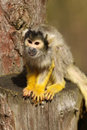 Free Black Capped Squirrel Monkey Royalty Free Stock Photography - 13625327