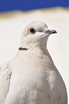 Free Collared Dove Close Up Stock Photo - 13620340
