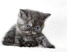 Free Gray Kitten Royalty Free Stock Photos - 13620738