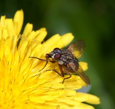 Free Fly On A Flower Royalty Free Stock Photography - 13623177