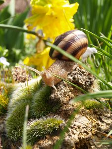 Snail In The Garden Royalty Free Stock Image