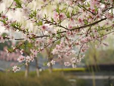 Free Peach Blossoms Stock Images - 13624024