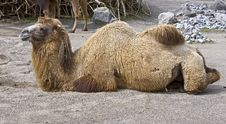 Free Bactrian Camel 3 Stock Image - 13624171