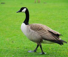 Free Goose Stock Photos - 13624243