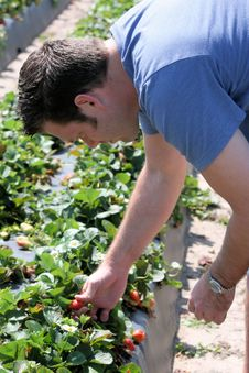 Man Picking Strawberries Royalty Free Stock Photos